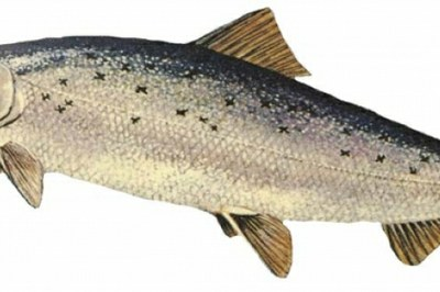 Atlantic Salmon Numbers Dropping