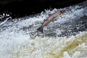Endangered Atlantic Salmon Are Facing A New and Potentially Devastating Threat