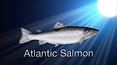 Species in the Spot Light: Atlantic Salmon (part II)