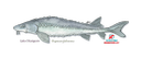 Lake Sturgeon (small)