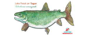 Lake Trout (small)