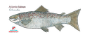 Atlantic Salmon (small)