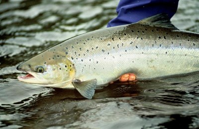 Atlantic Salmon Life History