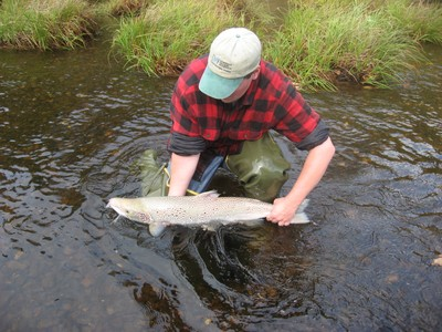 Atlantic salmon adult