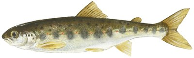 Atlantic salmon parr drawing