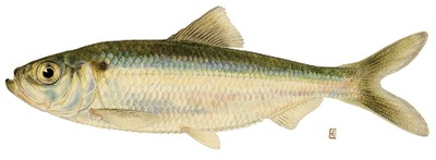Alewife illustration