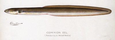 American eel illustration