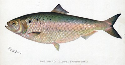 American shad illustration