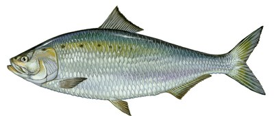 Illustration of an American shad (Alosa sapidissima).