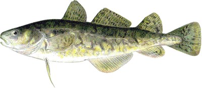 Illustration of an Atlantic tomcod (Microgadus tomcod).