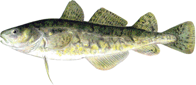 Atlantic tomcod illustration