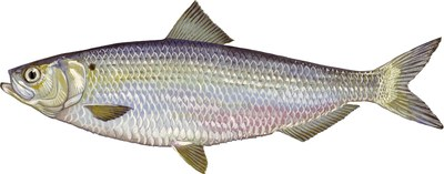 Illustration of a Blueback Herring (Alosa aestivalis).