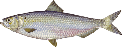 Blueback herring illustration