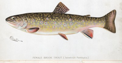 Brook trout female illustration