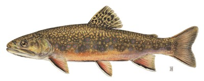 Brook trout illustration