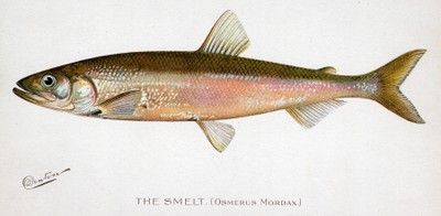 Rainbow smelt illustration