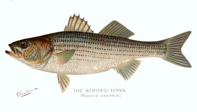 Striped bass illustration