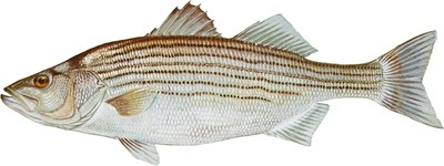 Illustration of striped bass (Morone saxatilis).