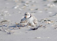Potential Habitat for Beach-Nesting Birds in New Jersey