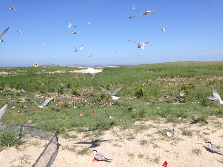 Common Tern colony at Monomoy National Wildlife Refuge