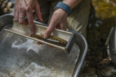 Brook trout in Roaring Brook